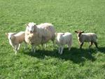 bruceloza-ovce