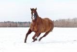 konj galop