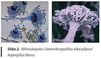 mikotoksini- aspergilus flavus