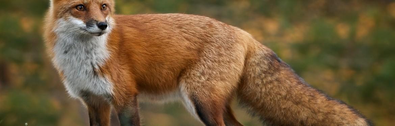 EFSA: oralna vakcinacija divljih životinja protiv bjesnoće