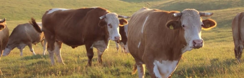 EFSA: enzootska leukoza goveda