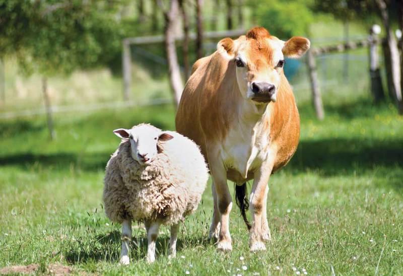 Ovca i krava